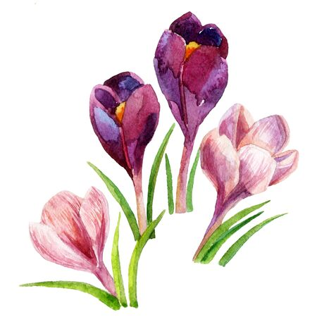 contrast floral: Hand painted crocus flowers. Watercolor illustration