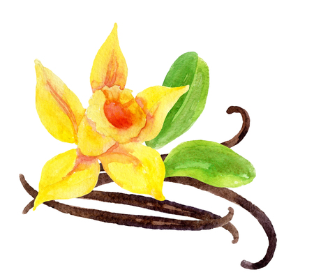 Vanilla flower and pods, hand painted watercolor illustration
