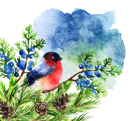 Watercolor bullfinch on juniper branch. Hand painted illustration