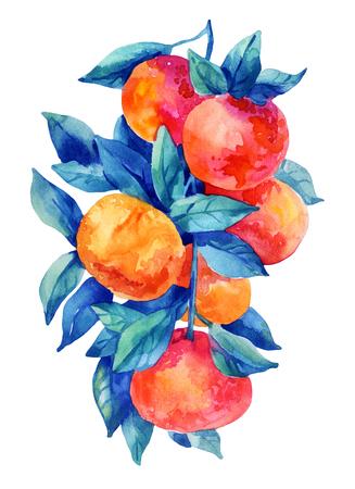 Watercolor mandarine orange fruit branch with leaves isolated on white background. Orange citrus tree. Mandarin branch. Tangerine branch with leaves. Hand painted illustration