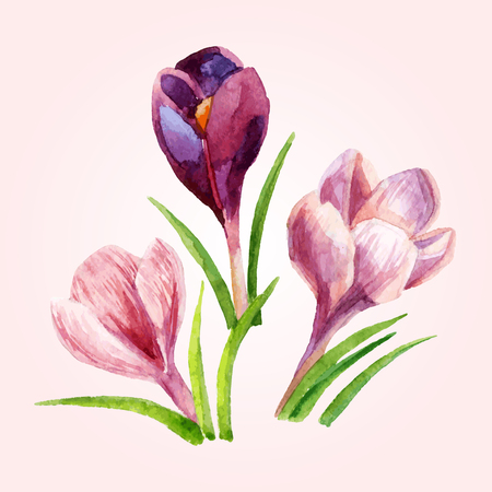 Hand painted crocus flowers. Watercolor vector illustration