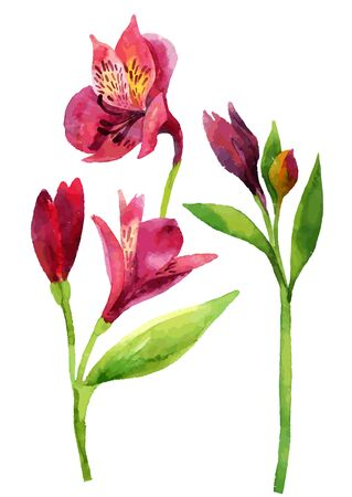 Hand painted pink alstroemeria isolated on white background