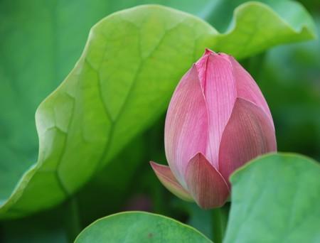 wonderful lotus bud in lake of the beijing park