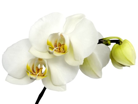 branch of white orchid on the white background Stock Photo