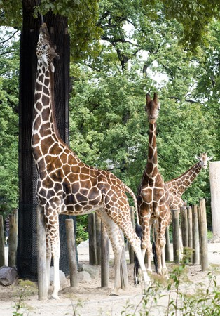 Giraffe, eating leaves from a tree and two giraffe watching over him Stock Photo