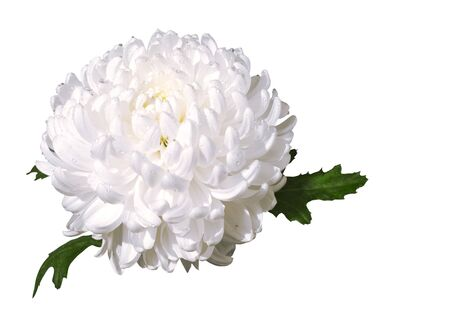Beautiful white chrysanthemum isolated on the white background