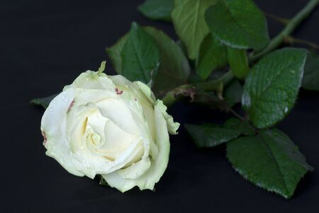Beautiful white rose on the black background