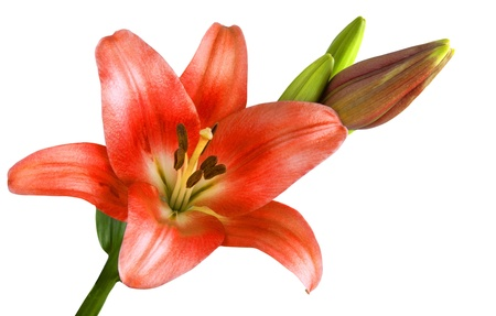 Blooming red lily isolated on  white background