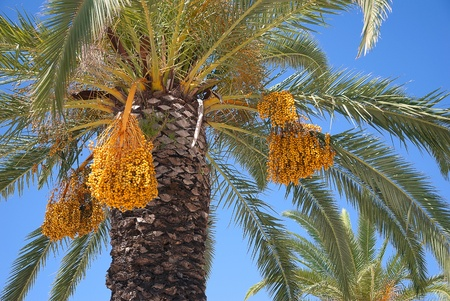 Date palm fruit bunches on  blue sky background photo