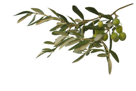 Green olive  branch on the white background Stock Photo