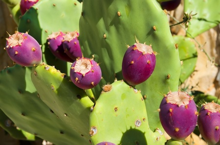 indica: Green cactus opuntia ficus- indica with red fruits Stock Photo