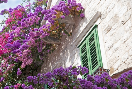 Colorful pink flowers on the building wall and window