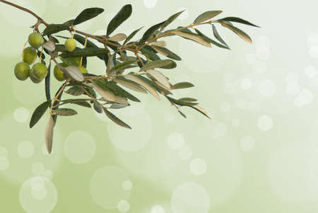 Green olive  branch on the boke background