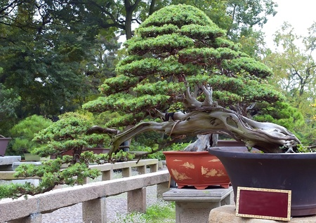 Beautiful bonsai pine tree in traditional garden photo