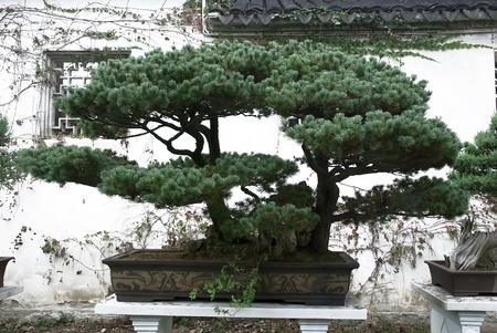 Beautiful bonsai pine tree in traditional chinese garden