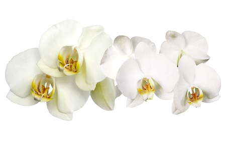 Branch of white orchid on white background Stock Photo