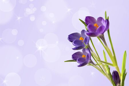 Violet crocus on the fantasy background with bokeh