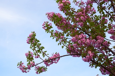 Pink flowers of sakura on blue sky background photo