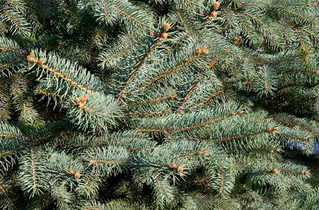 pinetree: winter background of green fir tree needles Stock Photo