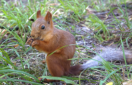 Small squirrel eating a nut in grass