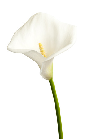 Single white flower calla on a white background