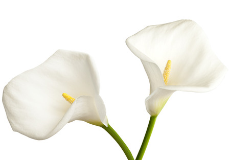 Pair of white  calla on a white background