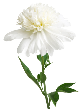 White peony with green leaves on white background Stock Photo