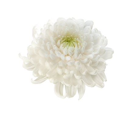 Beautiful white chrysanthemum isolated on a white background