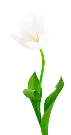 Nice white fresh tulip on the white background