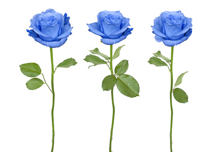 Trio blue roses isolated on a white background Stock Photo