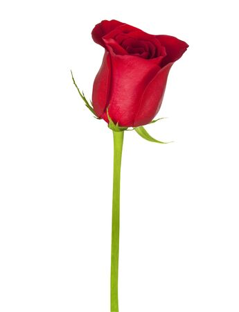 Beautiful red rose isolated on a white background Stock Photo