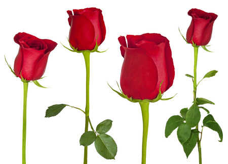 Wonderful red roses  isolated on a white background Stock Photo