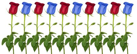 Beautiful red and blue roses isolated on a white background