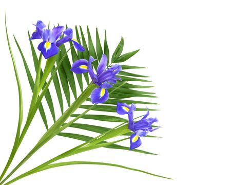 Fresh purple iris and fern isolated on a white background
