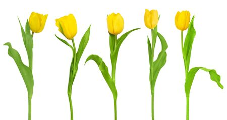 Group of yellow tulip isolated on a white background