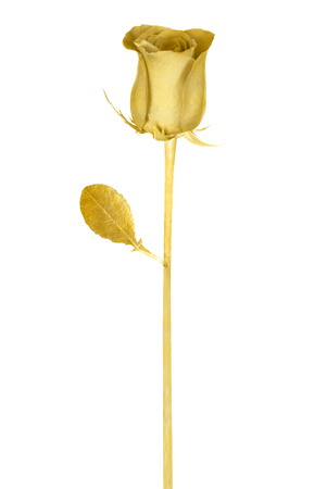 Beautiful golden rose isolated on a white background