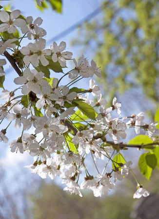White flowers of  spring blooming cherry tree Stock Photo