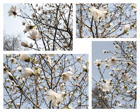 Composition with spring blooming white magnolia flowers Stock Photo