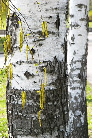 White birch bark and spring young buds