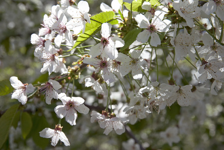 Spring blooming branch of a white cherry Stock Photo