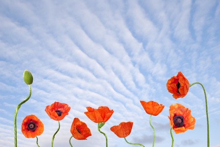Red poppies on the blue sky background