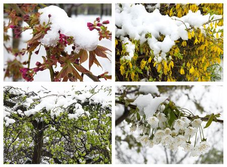 Set of pictures with unexpected snow on the blooming spring branch Stock Photo
