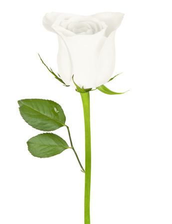 Beautiful white rose isolated on a white background