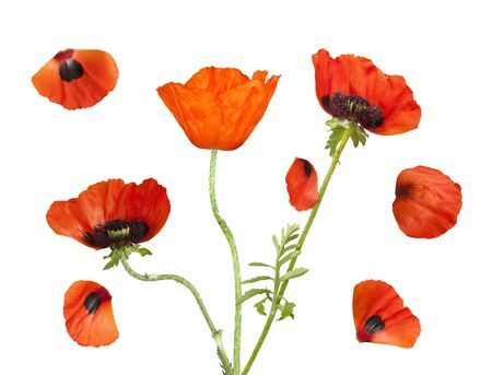 Bright red poppies with petals isolated on a white background