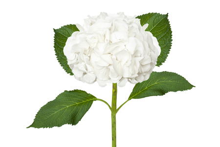 Wonderful white hydrangea isolated on a white background Reklamní fotografie