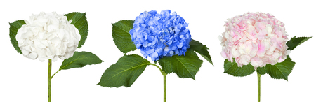 Nice white,  blue and pink  hydrangeas isolated on a white background Stock Photo