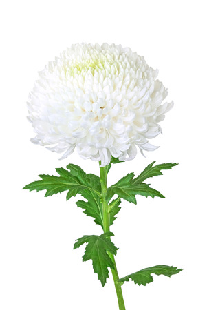 Beautiful white chrysanthemum with leaf isolated on a white background Stock Photo