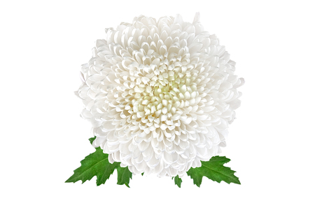 Beautiful white chrysanthemum bud isolated on a white background