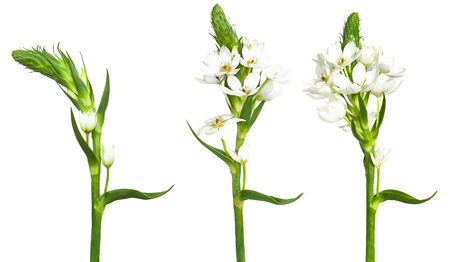 Trio of white ornitogalum isolated on a white background