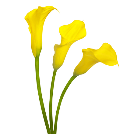 Beautiful yellow flowers calla isolated on a white background Stock Photo